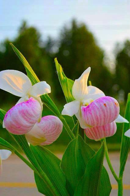 lady slipper women's outdoor weekend at Gordon's Park on Manitoulin Island