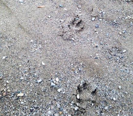 wolf track at Gordon's Park for their Moonlight Hike & Wolf Howl on Manitoulin Island